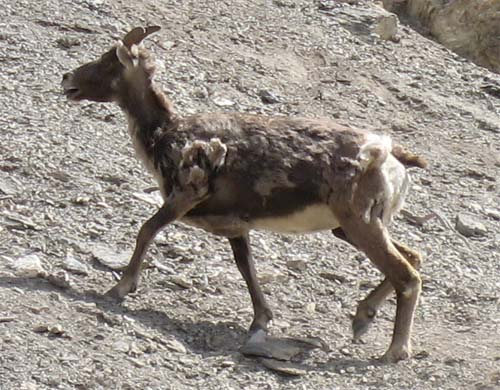 Photos de canada  P93s_mountain_goat