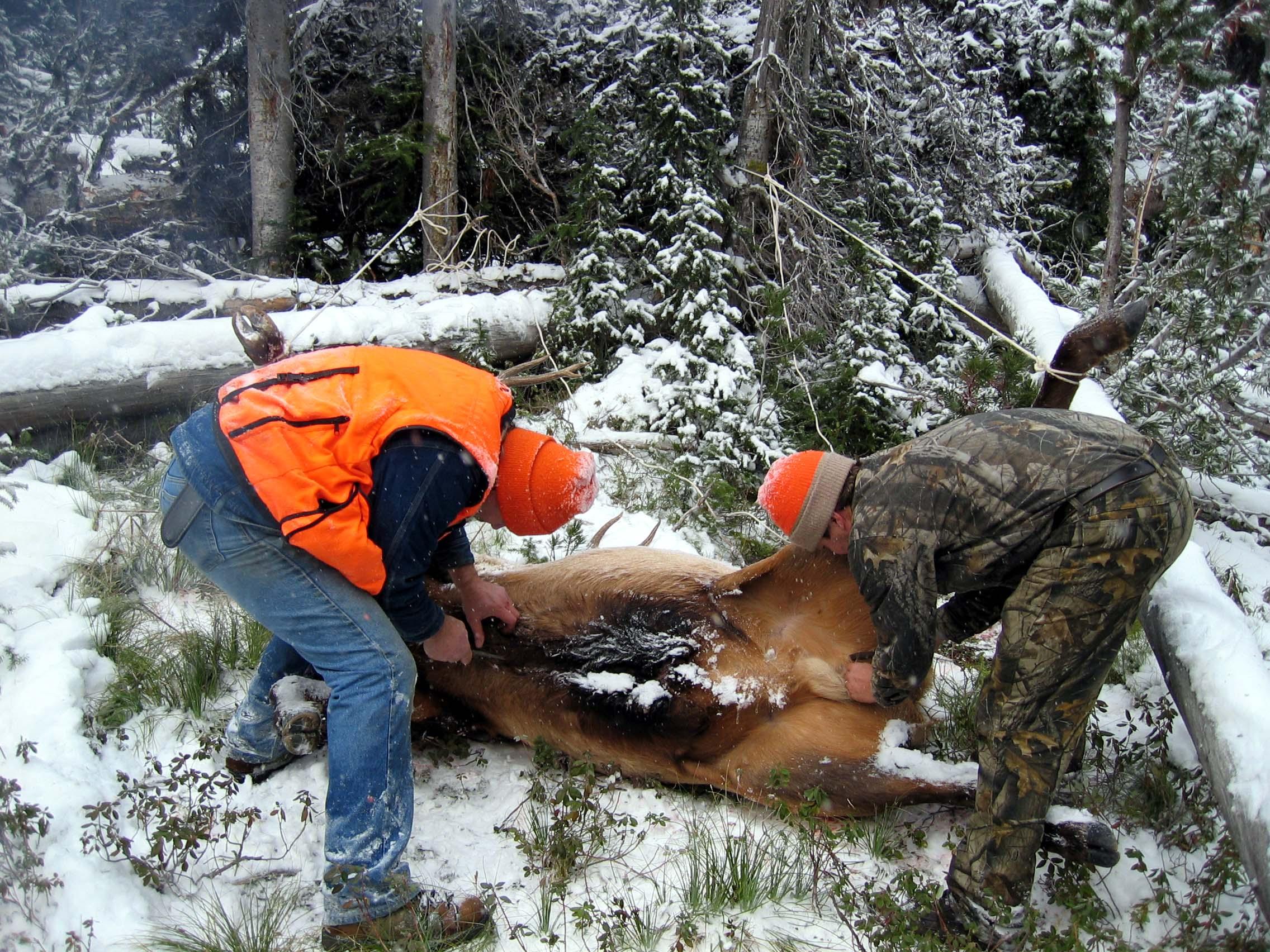 Field Dressing an Elk